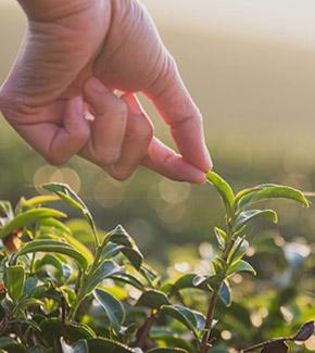 Main qui touche du thé